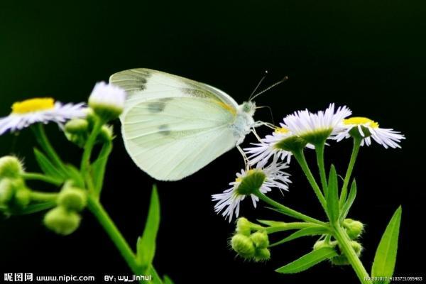 白色的马兰花