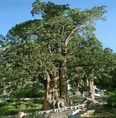 林芝世界柏树王(十大千年古树之九)