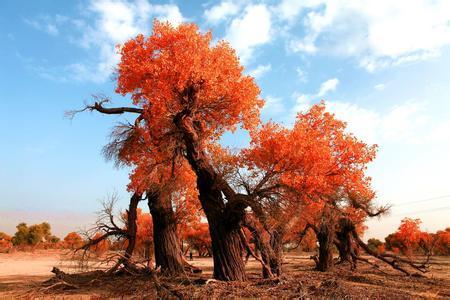 生在中国塔里木盆地的胡杨树,刚冒出幼芽就拼命的扎根,在极其炎热干旱