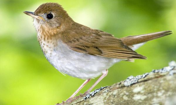 啄虫: 育雏主要以为害禾本科植物的昆虫为主,多为鳞翅目害虫。 昔枉浩劫:1958年国务院提出除四害,四害包括:苍蝇、蚊子、老鼠、麻雀。 今法: 麻雀被列入国家林业局2000年8月1日发布的《国家保护的有 益的或者有重要经济、科学研究价值的陆生野生动物名录》。