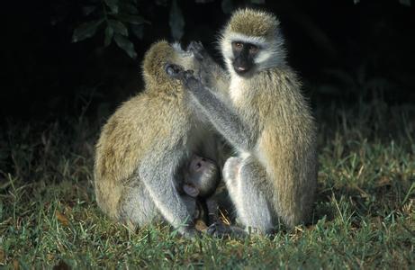 马达加斯加岛和印度洋一些岛屿上,还生存着少数与5000万年前的原猴类
